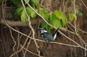 Martin-pescador verde