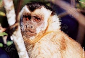 Macaco-prego-amarelo