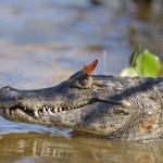 Jacaré do pantanal